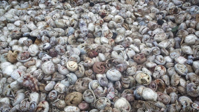 Plus de 4 000 pangolins congelés, représentant l