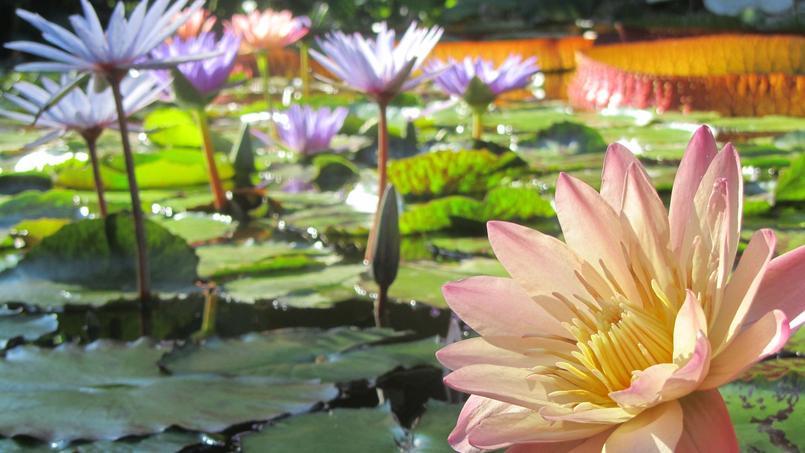 Fleurs aquatiques la beaut les pieds dans l 39 eau - Plantes qui poussent dans l eau ...