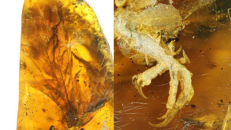 Détail de plumage et gros plan sur les griffes d'une patte de l'oisillon. Crédit: Ming bai, Chinese Academy of Sciences