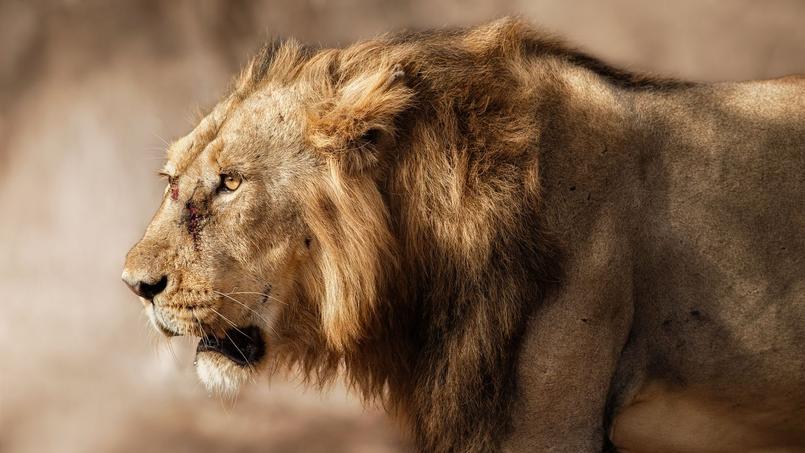 L'habitat naturel du lion d'Asie s'étendait autrefois sur tout le sous-continent indien. Il reste environ 500 specimens à l'état sauvage dans la forêt de Gir.