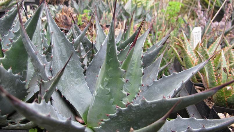 Agave montana 'Baccarat'. Crédit photo: Megan Hansen/Flickr.