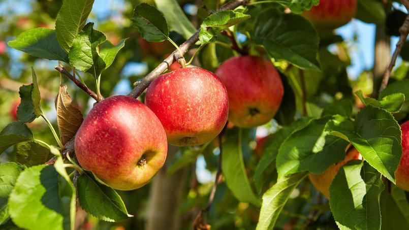 En Asie centrale, d'où elle est originaire, l'homme consomme des pommes depuis le néolithique.
