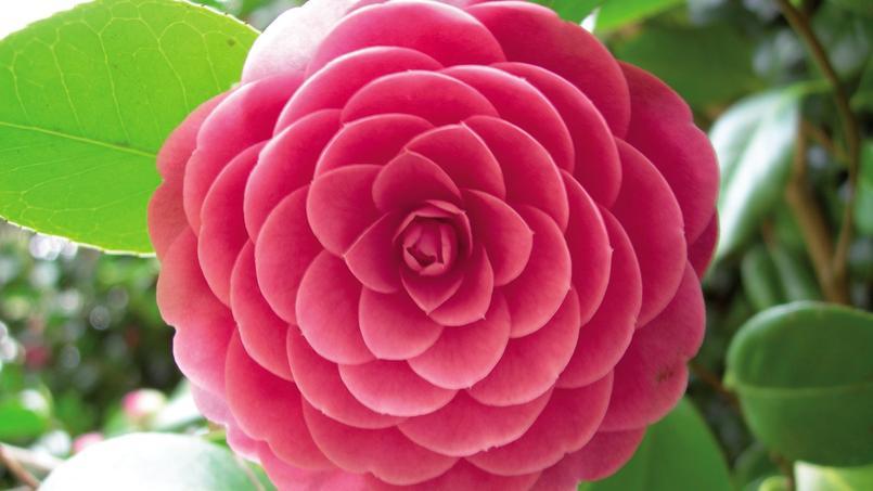 Fleur de la variété Acteon. Crédits photo: ICS Portugal.