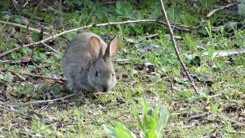 Jeune lapin de garenne. Crédits photo: G. Carcassès/SNHF.