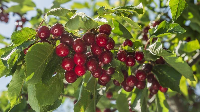 Cerisier, un très grand choix de variétés