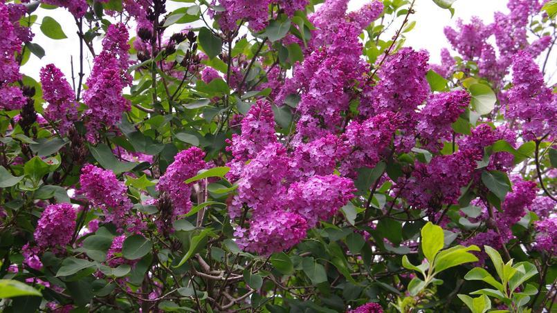 comment multiplier les lilas ?