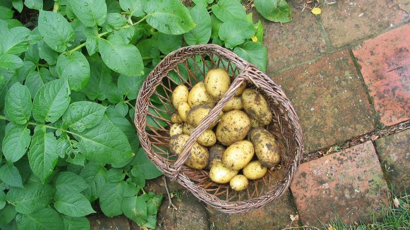Récolte de pommes de terre nouvelles. Crédits photo: Catherine Secq/SNHF.