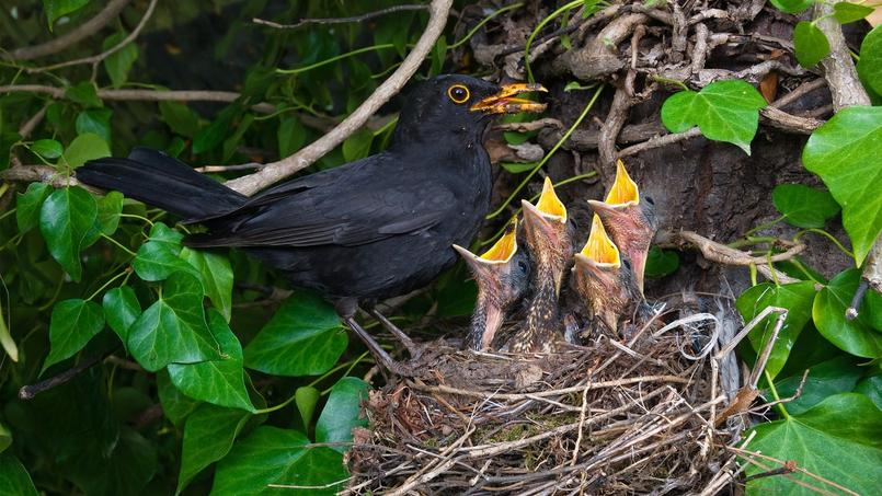 Quels arbustes baies privil gier pour les oiseaux - Faire fuir les oiseaux dans un jardin ...