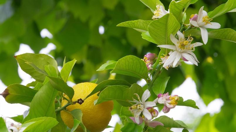 citronnier : pourquoi ne fleurit-il pas ?