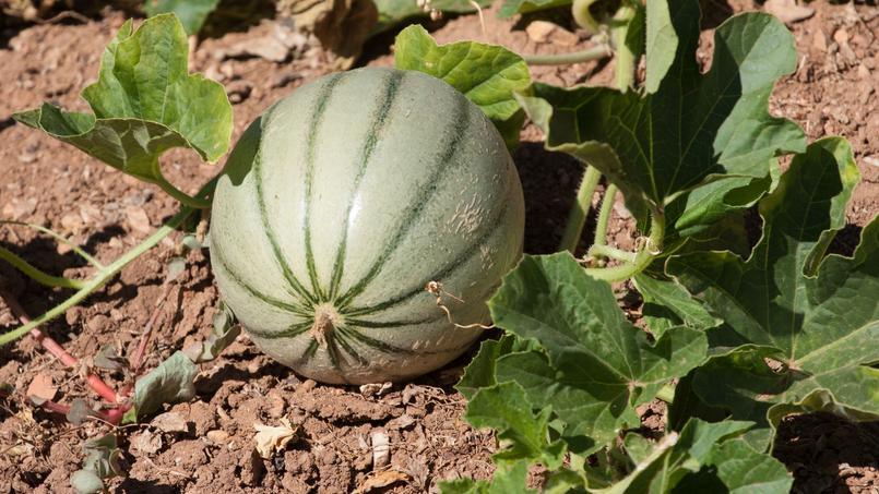 Melon, un fruit dans le potager