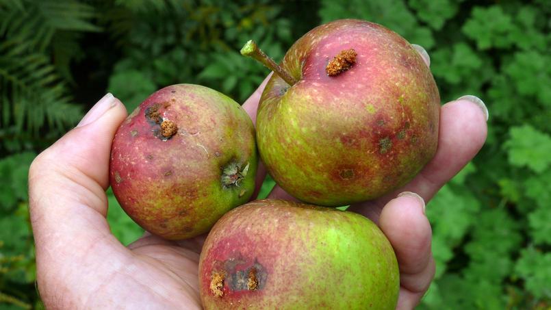 Le «ver» qui s'attaque à vos pommes est en fait la chenille d'un petit papillon. Crédit photo: Patrick Clément /Flickr.