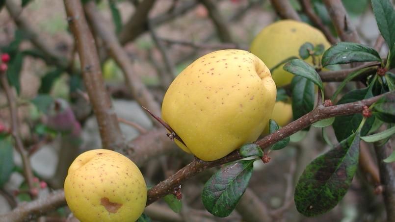 Les fruits du cognassier du japon sont ils comestibles - Pommier du japon fruit ...