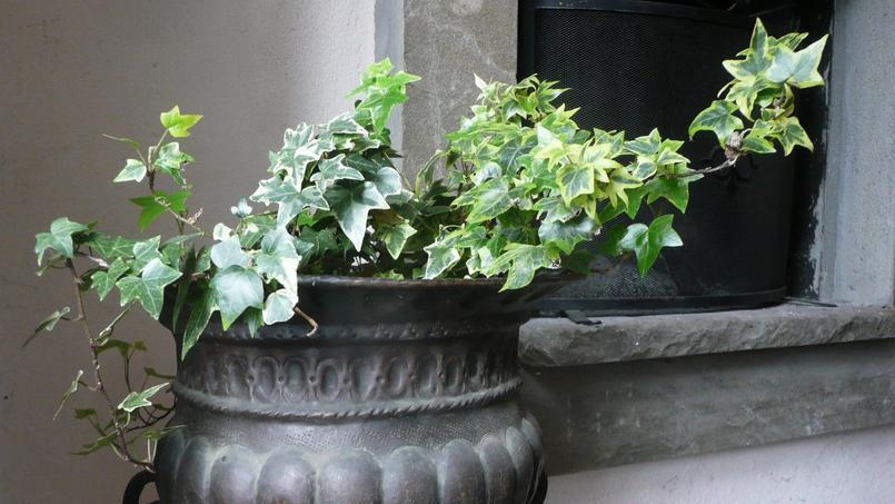 Certaines variétés de lierre se prêtent bien à la culture en pot. Crédit photo: nociveglia/Flickr.
