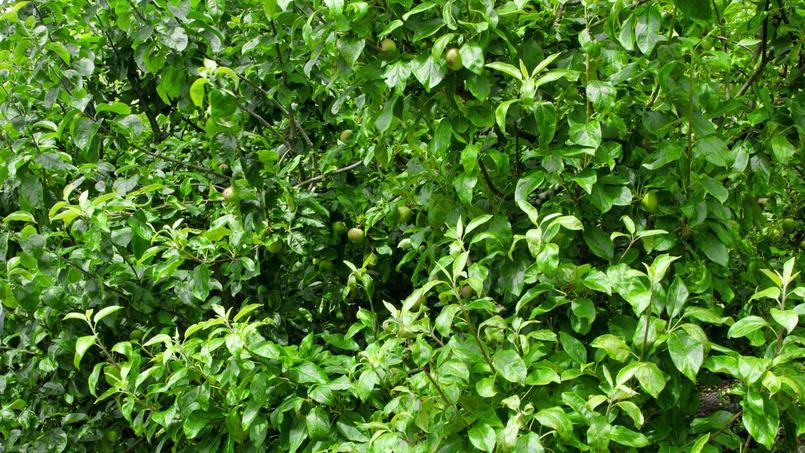 Haie qui ne perd pas ses feuilles - Poinsettia perd ses feuilles ...