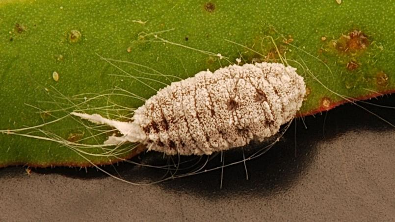 Cochenille farineuse. Crédit photo: Mike Keeling/Flickr.
