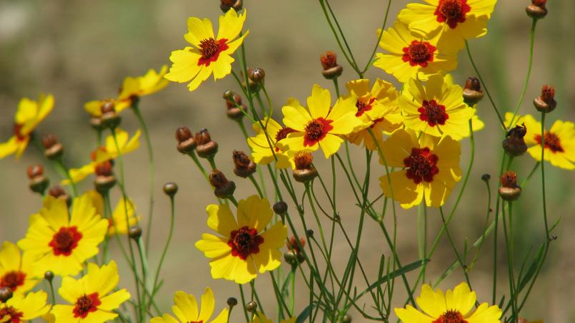 L'espèce Coreopsis tinctoria est annuelle. Crédits photo: Care_SMC/Flickr.