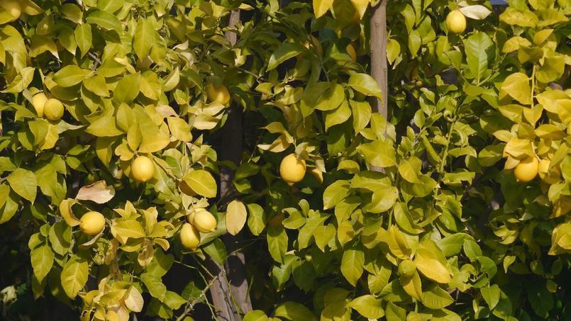 Jaunissement du citronnier est ce une carence en fer - Entretien d un citronnier ...