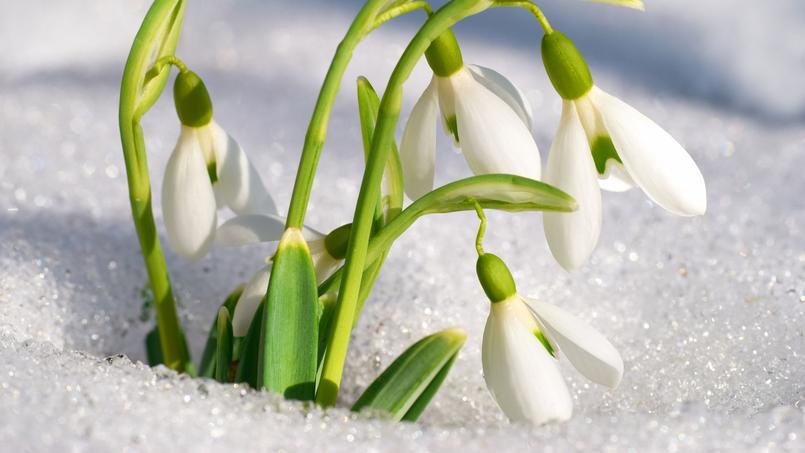 Perce-neige, lumière de l'hiver