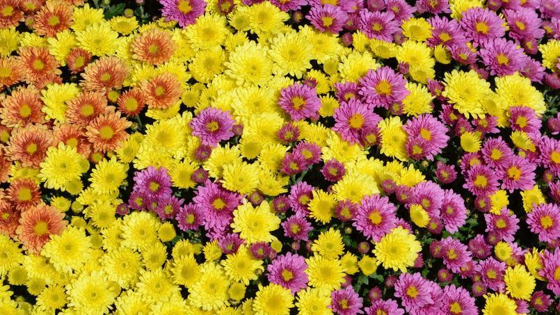 Comment faire fleurir les chrysanthèmes ?