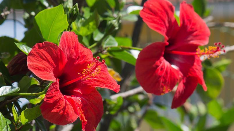 Hibiscus for Quand tailler les hibiscus de jardin