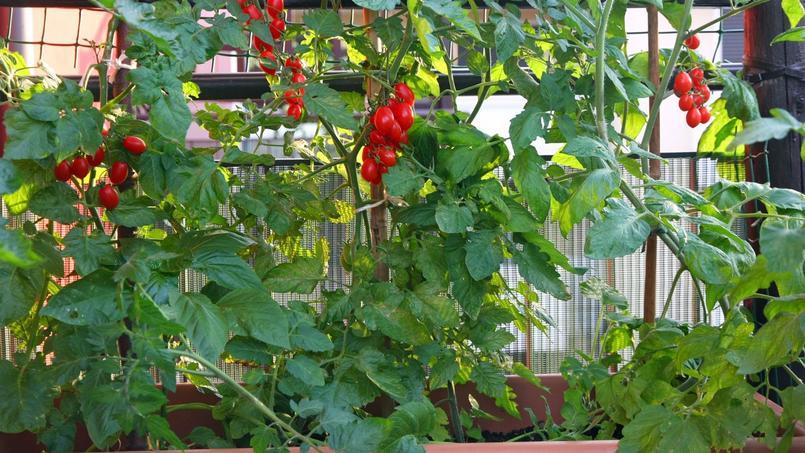 Culture de tomates cerises sur un balcon en ville.