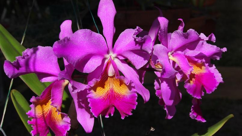 Cattleya dowiana x Cattleya hardyana. Crédit photo: Eduardo A. Pacheco/Flickr.