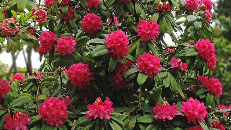 Rhododendron de l'espèce arboreum. Crédit photo: jacinta lluch valero/Flickr.