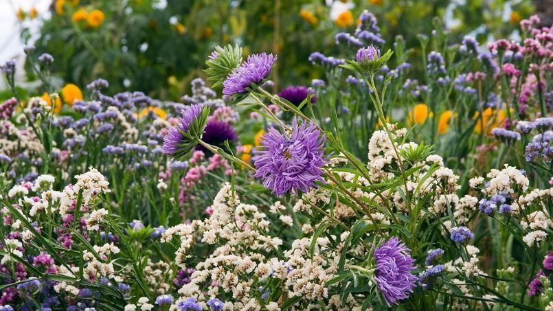 Fleurs annuelles semez les couleurs de l 39 t - Les couleurs de l ete ...