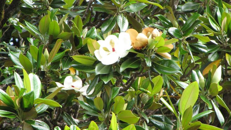 Quand Tailler Un Magnolia