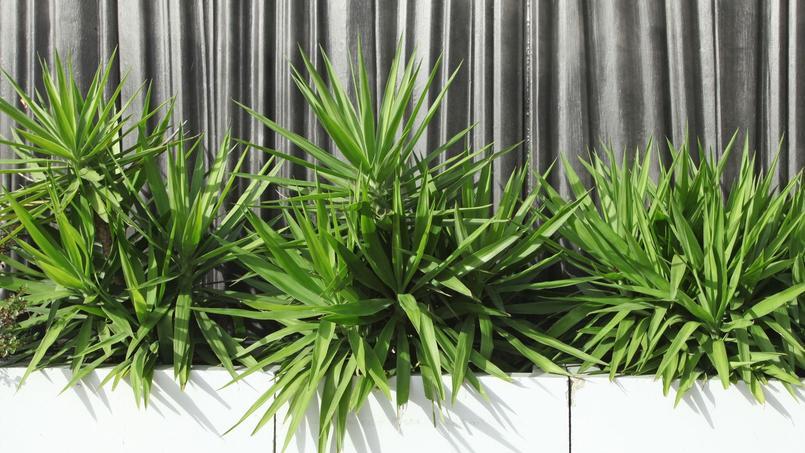 Comment tailler un yucca d 39 int rieur for Bouture yucca exterieur