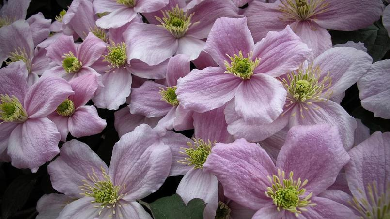 lilas cl matite forsythia taillez les arbustes floraison printani re. Black Bedroom Furniture Sets. Home Design Ideas