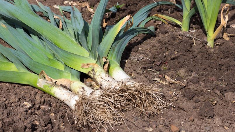 Poireau cultivé, un habitué du potager