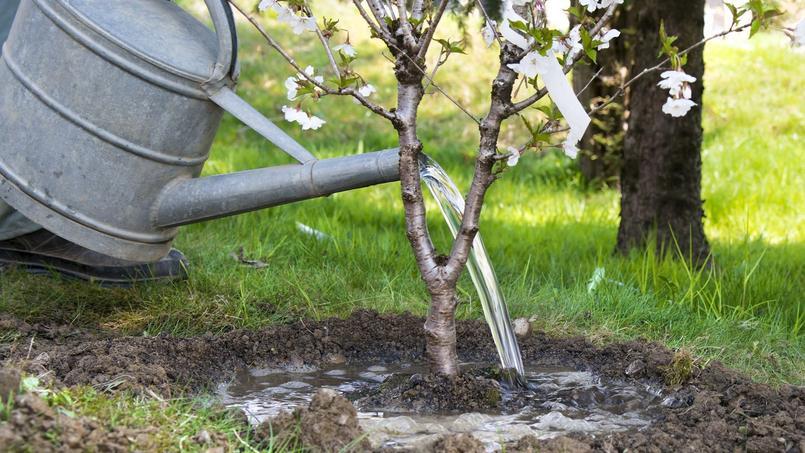 Les jeunes arbres plantés à l'automne ou au printemps et dont le système racinaire n'est pas encore bien installé, doivent bénéficier d'arrosages réguliers.