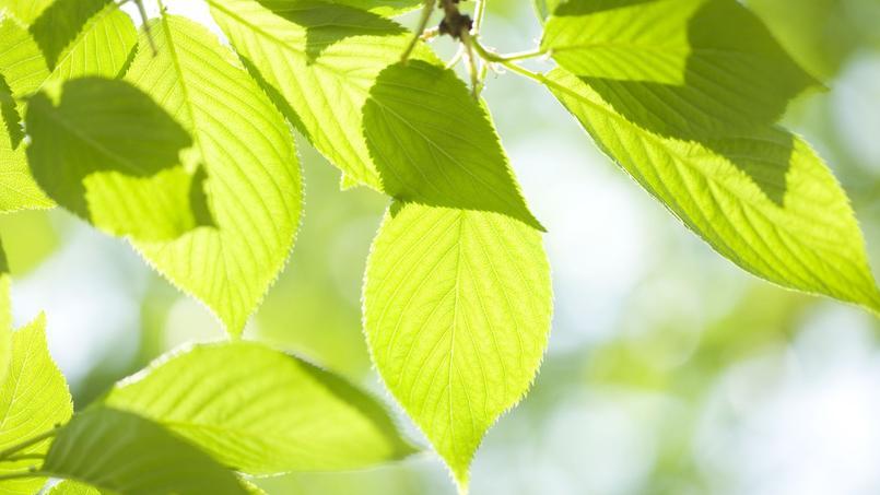 Pourquoi mon cerisier ne fait il que des feuilles for Amaryllis ne fait que des feuilles
