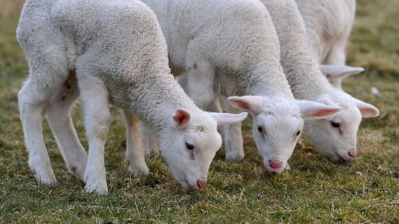 Rubis a été envoyée à l'abattoir avec des animaux normaux et sa viande a été mise en vente et achetée par un particulier en Ile-de-France