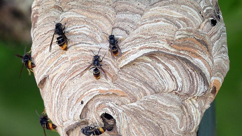 Que faire face un nid de gu pes - Enlever nid de guepe ...