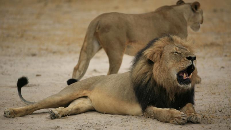 Le 21 octobre 2012, le lion Cecil.