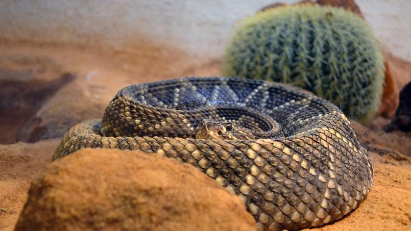 Le serpent à sonnette, ou crotale, est le plus venimeux reptile d'Amérique du nord