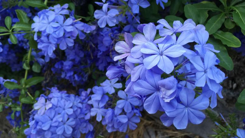 350 nuances de bleu les sublimes agapanthes de la villa - Arbuste a fleurs bleues ...