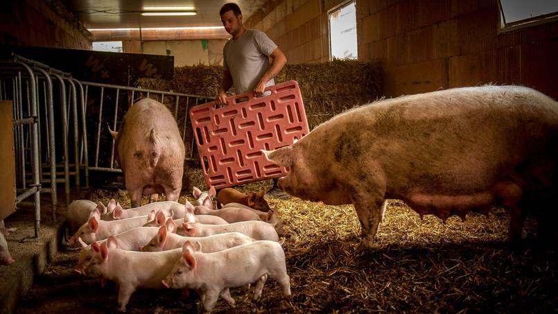 A Noël, la France ne produira que 21 millions de cochons contre 48 millions pour l'Espagne, avance Xavier Beulin.