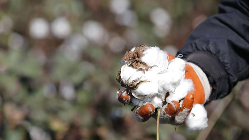 Coton récolté en novembre 2012, par des réfugiés syriens travaillant dans un champ à Bükülmez, sur la frontière turco-syrienne.