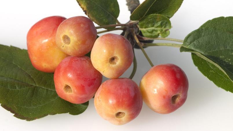 peut on semer des pommes du japon