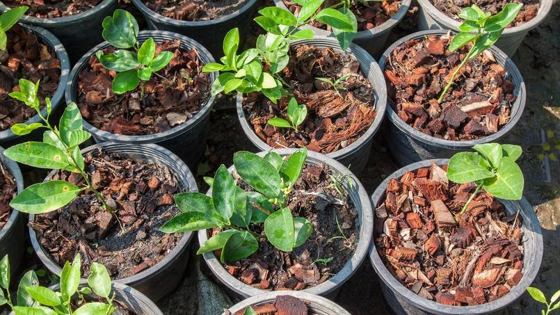Comment faire pousser des p pins de citron - Faire pousser citronnier ...
