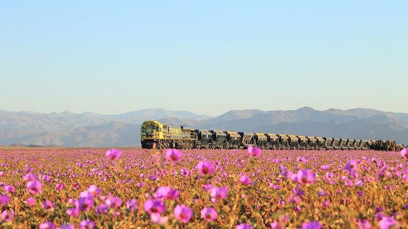 Des millions de fleurs envahissent Atacama, après des pluies diluviennes.