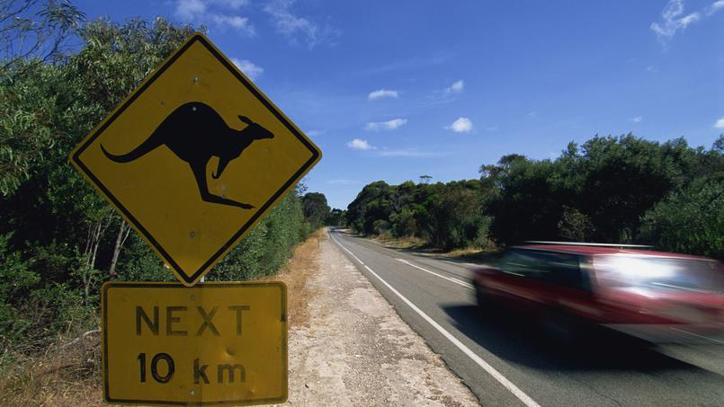 Les compagnies d'assurances australiennes versent tous les ans l'équivalent de 50millions d'euros à la suite d'accidents avec des kangourous.