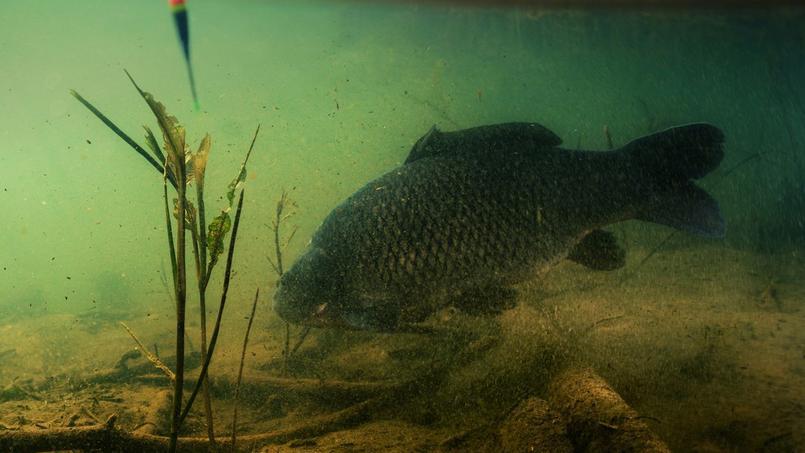 Carpe franche sur le fond d'un étang.