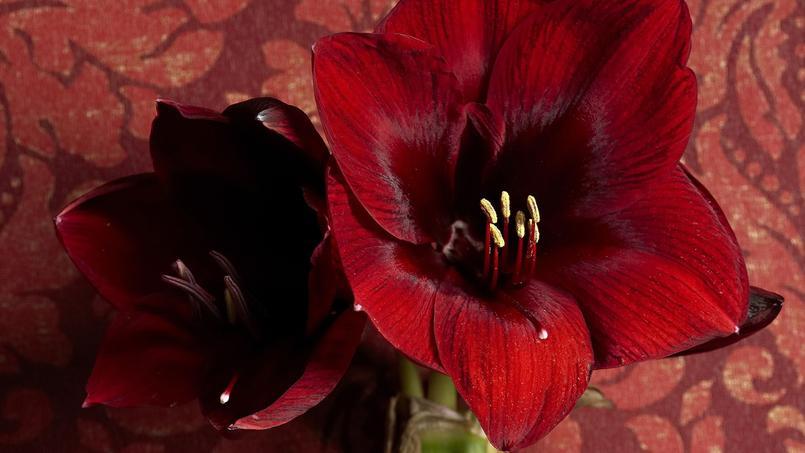 Le sublime clat rouge des plantes de no l for Plante noel rouge
