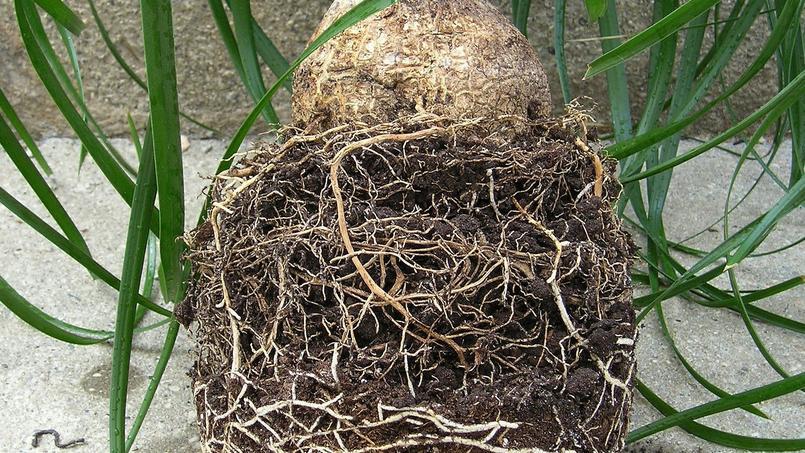 Les racines fragiles du Beaucarnea recurvata ne doient pas être abîmées lors de la transplantation. Crédit photo: Maja Dumat/Flickr.