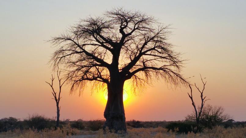 Baobab ( Adansonia digitata) photographié dans la savane du Bostwana au coucher du soleil. Crédit photo: Gregory «Slobirdr» Smith/Flickr
