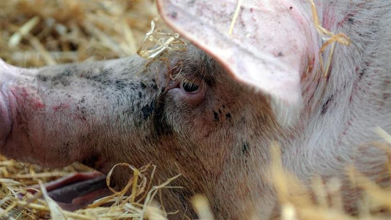 Le prix du porc est fixé au marché au cadran de Plérin en Bretagne. (Crédit: AFP)